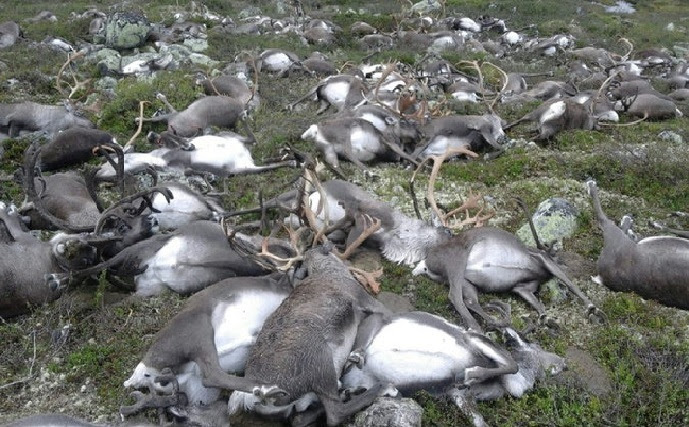 80,000 reindeer have starved to death as Arctic sea ice retreats, 80000 reindeer die arctic sea ice, 80000 reindeer die arctic sea ice retreat, 80000 reindeer die of starvation, arctic sea ice retreat kills 80000 reindeer