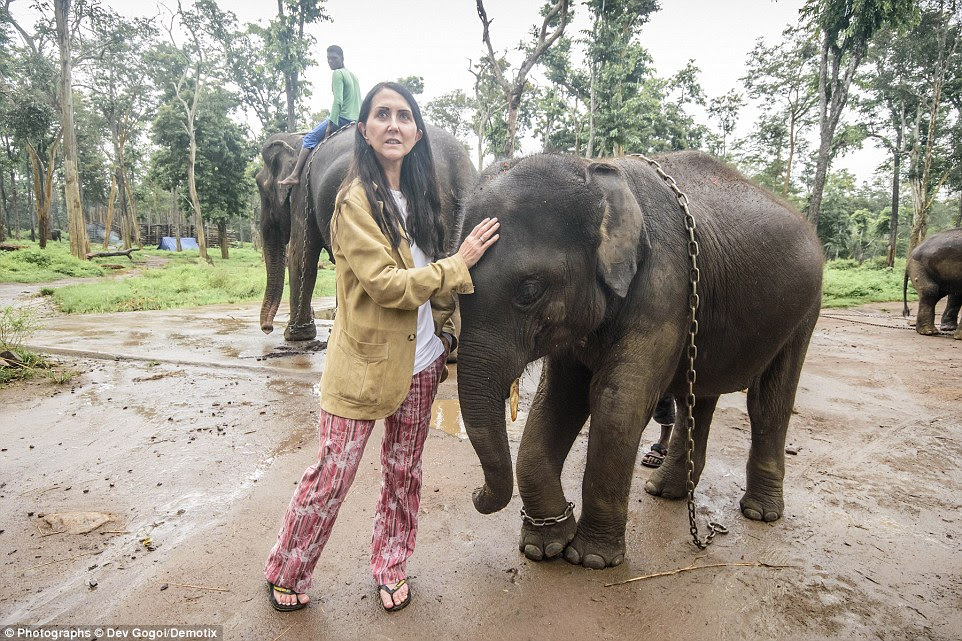 Wildlife SOS has agreed to take all the elephants from the camp if they are freed. Above, Liz Jones comforts a baby elephant while a mahout rides another in the background