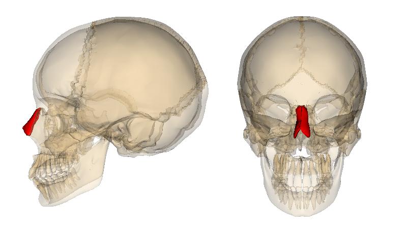 Nasal_bone