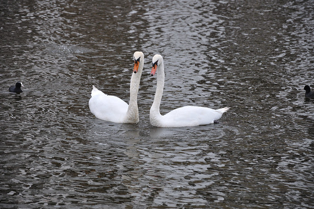 Two Swans in the Inner Alster