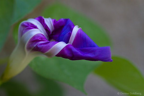 flower unfolding, purple