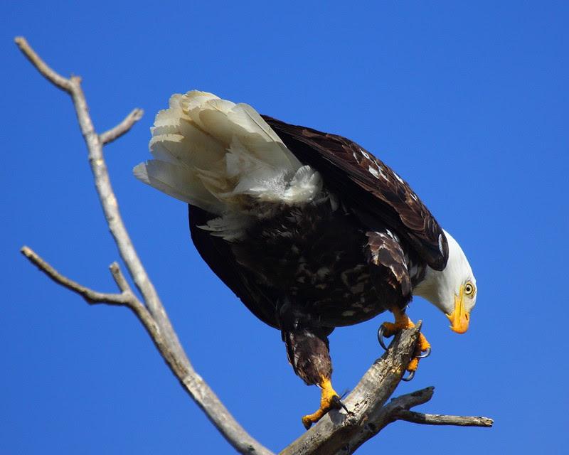 IMG_6419 Bald Eagle