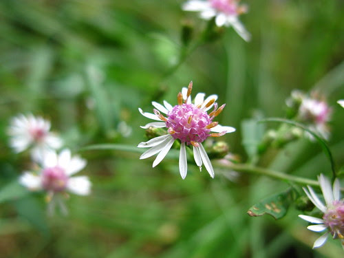 Aster lateriflorus, for Bloom Day. A midwestern prairie plant I learned about from Piet Oudolf. <3