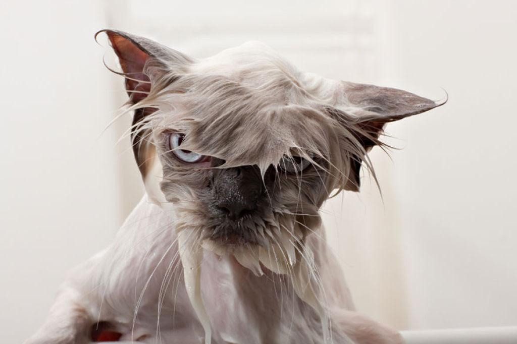 Fotografias engraçadas de gatos tomando banho 08