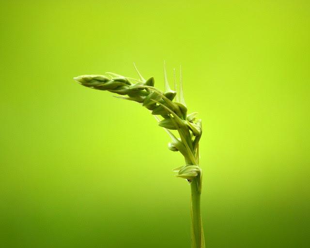 Pteroglossaspis (Eulophia) ecristata - aka the Giant Orchid