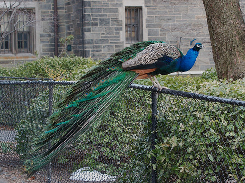 Cathedral Peacock