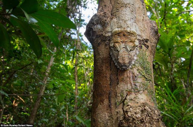 Seekor tokek yang mencoba untuk menyamarkan diri di pohon  Ini Tokek yang Mirip Katak Kermit