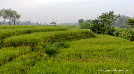 green paddy field