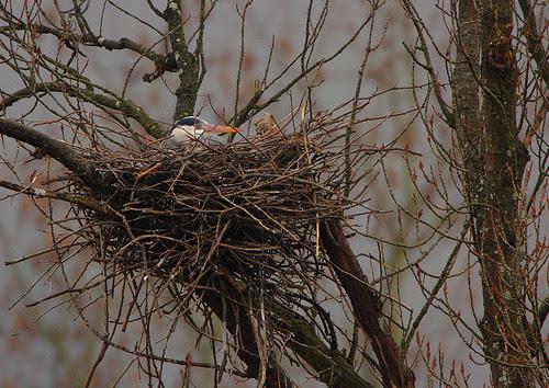 Garza real en el nido