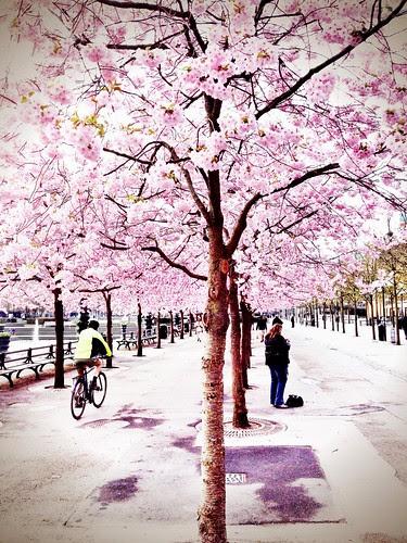 cherry blossom kungsträdgården 2013
