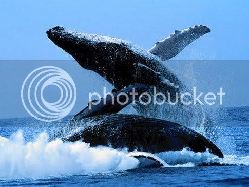 photo humpback_zps309fbaca.jpg