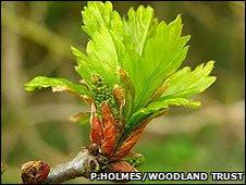 Oak leaves (Pete Holmes/Woodland Trust)