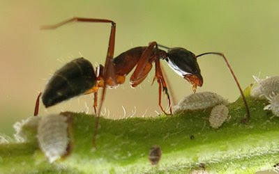 Ants and Fruit Trees