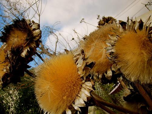 Dried artichoke booms - winter garden