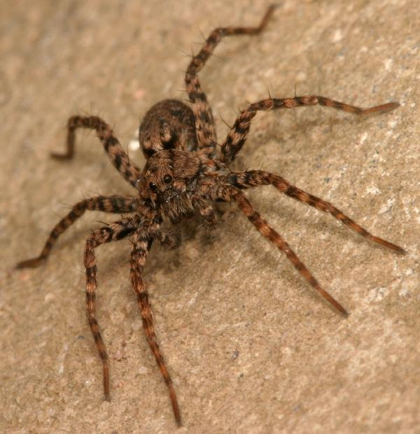 Mottled Brown Wolf Spider The Backyard Arthropod Project