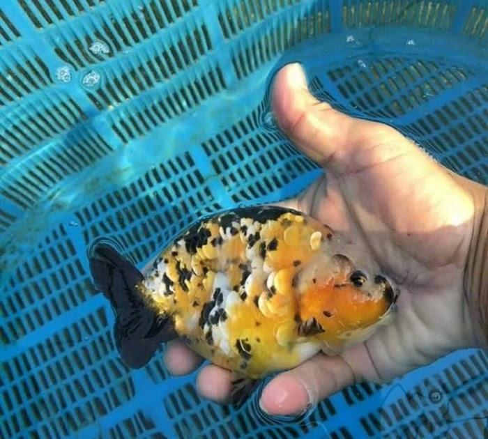 ikan kukus thailand resepi ikan bawal kukus tomyam resep bunda erita Resepi Ikan Kukus Tomyam Enak dan Mudah