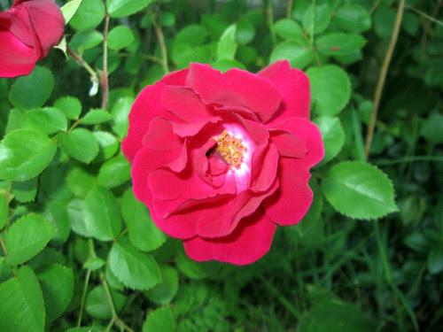 roses in june