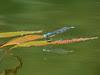 bluet damselfly on floating pondweed