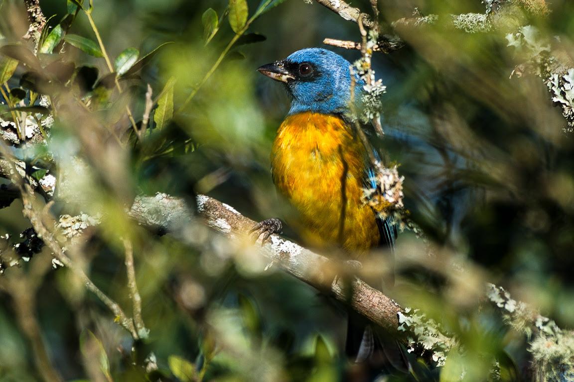 ... o Sanhaçu-papa-laranja Pipraeidea bonariensis… Foto: Elsie Rotenberg