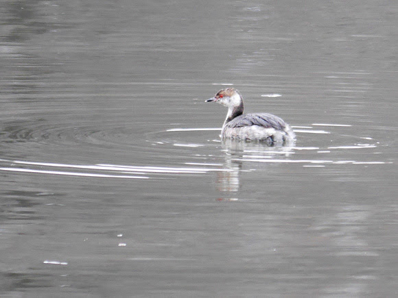 Ed Gaillard: birds &emdash; Horned Grebe, Spuyten Duyvil Creek