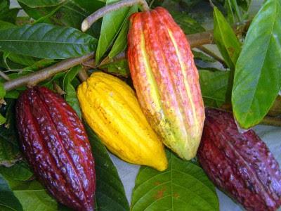O fruto do cacau, bem menos conhecido que o chocolate.
