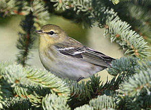 English: A photograph of a Blackpoll Warbler w...