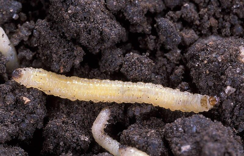 Fichier:Diabrotica virgifera virgifera larvae.jpg