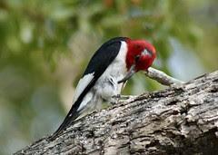 Red-headed Woodpecker, deformed bill