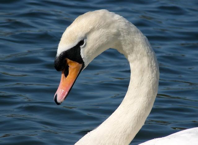 25687 - Mute Swan, Cosmeston