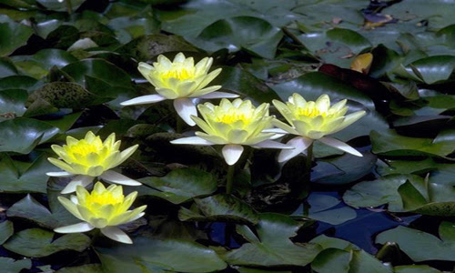 Indian Nursery Miniature Water Lily Aquatic Plant Exporter
