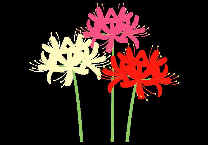 彼岸花ヒガンバナ Cluster Amaryllis