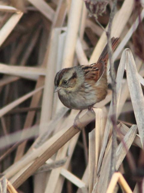 Swamp Sparrow 20121115