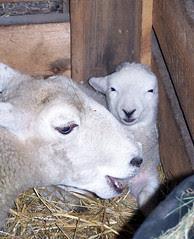 MomBaby_sheepB