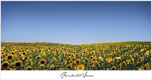 Accidental Views - Sunflowers