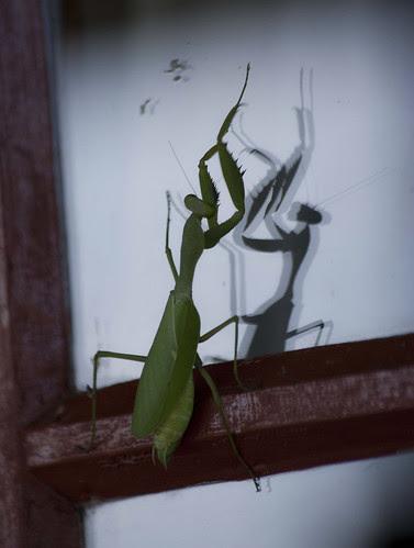 Preying Mantis, KZN, South Africa