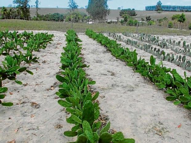 Cacto será plantado no ES para servir de alimento (Foto: Divulgação/Incaper)