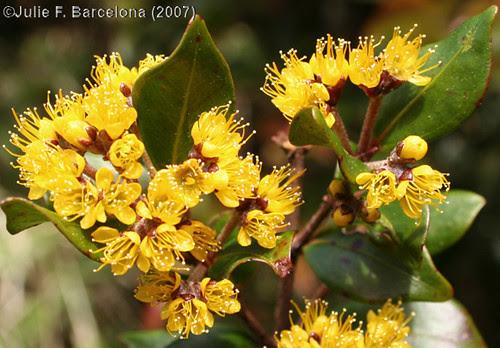 Philippine Plants (angiosperms) photogallery