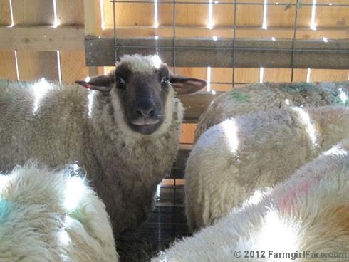 2012 Sheep shearing day 11 - FarmgirlFare.com
