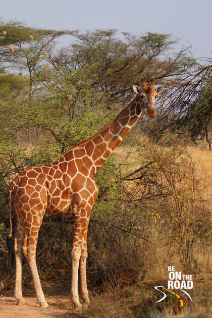 It was so difficult to capture the full body of the giraffe in my long zoom lens. They are so huge!!