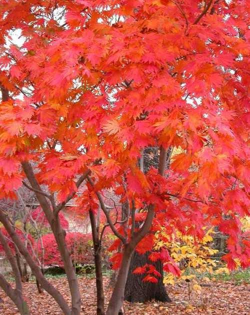 Arce japones acer japonicum aconitifolium cuidados verde - Arce japones cuidados ...