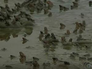 Infestação de sapos em Petrolina, no Sertão de Pernambuco (Foto: Reprodução/ TV Grande Rio)