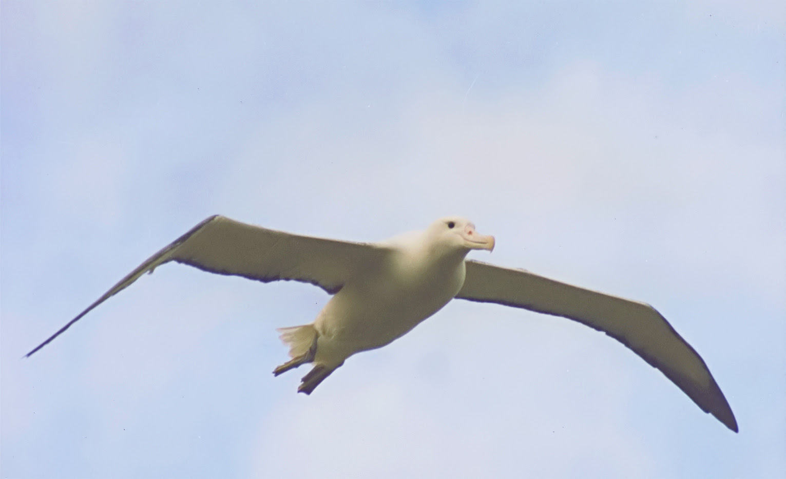 http://upload.wikimedia.org/wikipedia/commons/2/2d/Southern_Royal_Albatross_in_flight.jpg