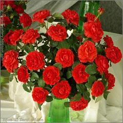 Rosa 'El Toro' - Róża