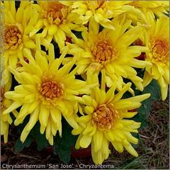 Chrysanthemum 'San Jose' - Chryzantema  'San Jose'