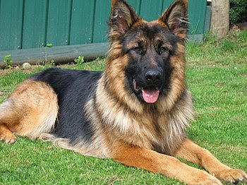 Long Haired GSD