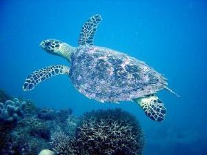 """Résultat de recherche d'images pour """"tortue de mer"""""""