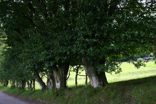 Trees ~ Windermere