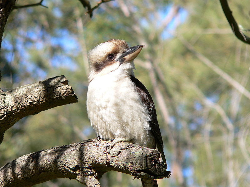 File:Laughing Kookaburra 2.JPG