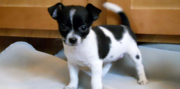 Puppy Jack Russell Chihuahua Mix Black And White