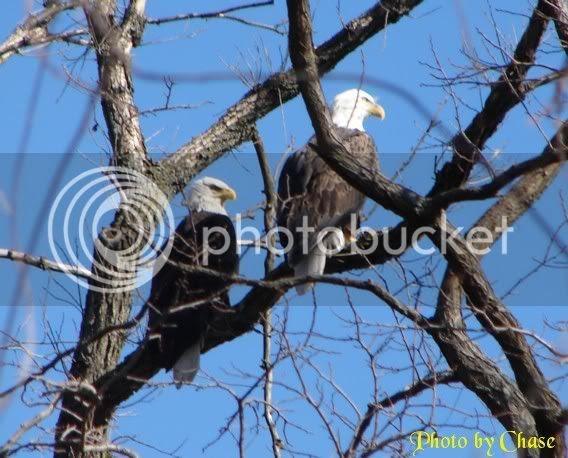 Eagles at Croton